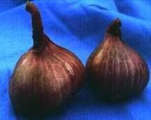 Garlic_and_shallots_allium_cepa_aggregatum_group_asian_purple-1.full
