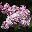Lilacs_syringa_vulgaris_montaigne.thumb