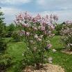 Lilacs_syringa_vulgaris_montaigne-1.thumb