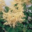 Lilacs_syringa_reticulata.thumb