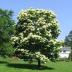 Lilacs_syringa_reticulata-1.thumb