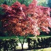 Japanese_maples_acer_palmatum_bloodgood-1.thumb