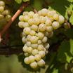 Grapes, 'Chardonnay'