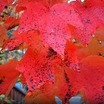 Maples_acer_rubrum_red_sunset-1.thumb