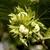 Filbert: Corylus avellana 'Jefferson'