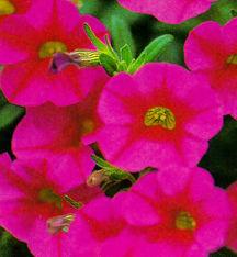Million Bells®, 'Cherry Pink'