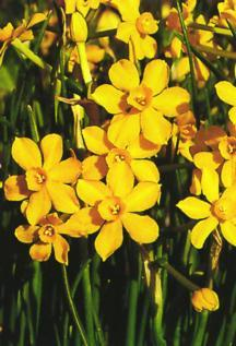 Daffodils_and_narcissus_narcissus_jonquilla_x_baby_moon-1.full