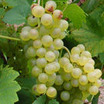 Sauvignon+blanc+wine+grape+vine.thumb