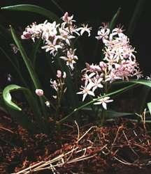 Bulbs_scilla_bifolia_rosea-1.full
