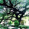 Pecan Tree, Alamo