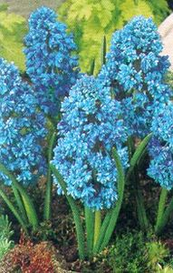 Hyacinth, Grape 'Blue Spike'