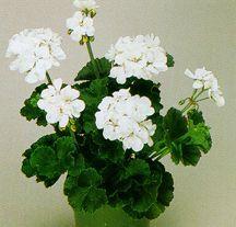 Geranium, Zonal 'White Truffle'