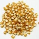 Golden-bantam-12-row-corn.full