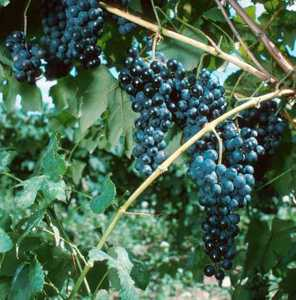 Grape, DeChaunac Seibel
