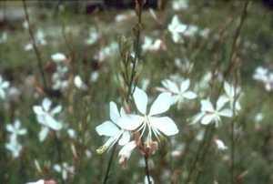 Gaura, White