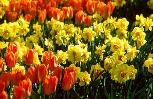 Tulips_tulipa_orange_emperor-1.full