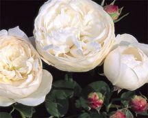 Rose, English Standard Tree-form 'Fair Bianca' (Austin 1982)