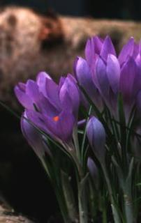 Crocus, Spring Flowering 'Haarlem Gem'