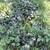 Perennials: Clematis x jouiniana 'Praecox'