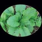 Komatsuma-tendergreen.full