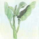 Green-leaf-gailan-chinese-kale.full