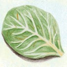 Tatsoi-green.full
