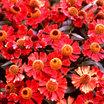 Helen's Flower, 'Coppelia'