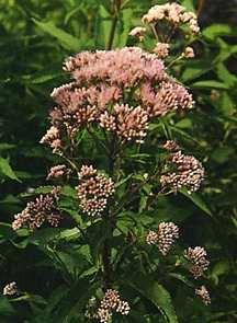 Perennials_eupatorium_maculatum-1.full