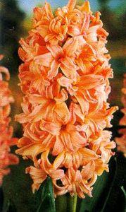 Hyacinth, Dutch 'Gypsy Queen'