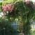 Pa119934coral_vine.small