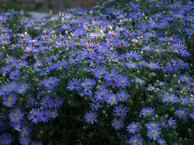 Pa119936fall_mistflower.detail