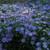 Pa119936fall_mistflower.small