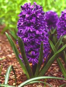 Hyacinth, 'Blue Jacket'