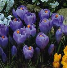 Crocus, Large Flowering Dutch 'Queen of the Blues'