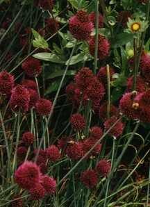 Allium, Drumstick