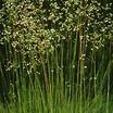 Grass, Quaking