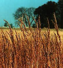 Grass, Indian
