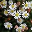 Mat Daisy, Miniature