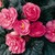 Begonias_begonia_go_go_rose-1.small