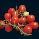Riesentraube-tomato.full