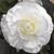 Begonias_begonia_go_go_white-1.small