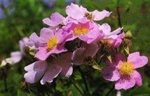 Rose, Climbing Antique 'Prairie Rose' (1924)