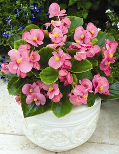 begonias begonia semperflorens cultorum group 39 bada bing r pink 39. Black Bedroom Furniture Sets. Home Design Ideas
