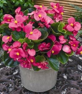 begonias begonia semperflorens cultorum group 39 bada bing r rose 39. Black Bedroom Furniture Sets. Home Design Ideas