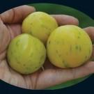 Topaz-or-huan-u-tomato.full