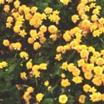 Marigold, Marsh 'Multiplex'