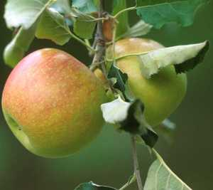 Apple Tree, Semi-dwarf 'Jonagold'