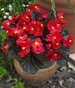 begonias begonia semperflorens cultorum group 39 bada boom. Black Bedroom Furniture Sets. Home Design Ideas