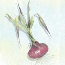 Brunswick-onion.full