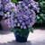Bellflower: Campanula longestyla 'Isabella Blue'